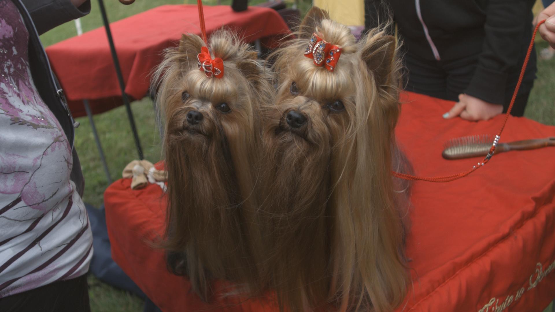Nach Rassestandard müssen Yorkshire Terrier lange Haare tragen